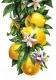 Набор алмазной вышивки Гранни Лимоны (Ag 1043) -