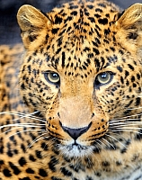 Набор алмазной вышивки Гранни Леопард (Ag 462) -
