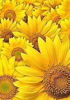 Набор алмазной вышивки Гранни Желтые цветы (Ag 4622) -