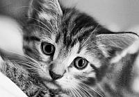 Набор алмазной вышивки Гранни Черно-белый кот (Ag 467) -
