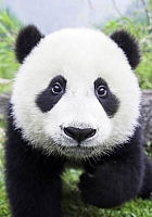 Набор алмазной вышивки Гранни Любопытная панда (Ag 486) -