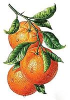 Набор алмазной вышивки Гранни Апельсиновая ветвь (Ag 540) -