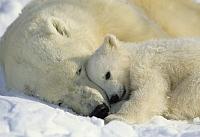 Фотообои Komar Polar Bears 1-605 (184x127) -