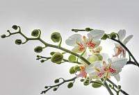 Фотообои Komar Orchidee 1-608 (184x127) -