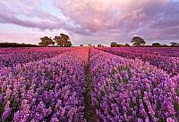 Фотообои Komar Lavendel 1-615 (184x127) -