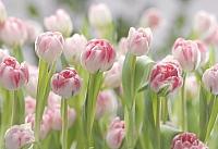 Фотообои Komar Secret Garden 8-708 (368x254) -