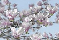Фотообои Komar Magnolia 8-738 (368x254) -
