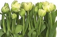 Фотообои Komar Tulips 8-900 (368x254) -