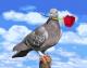 Картина по номерам Picasso Голубка с розой (PC4050175) -
